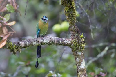 Blue-crowned Motmot1