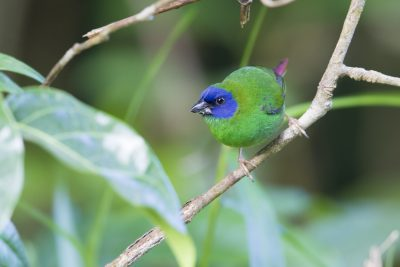 Blue Faced Parrot Finch (Male - Erythrura trichroa macgillivrayi) - Mt Lewis, QLD (7)