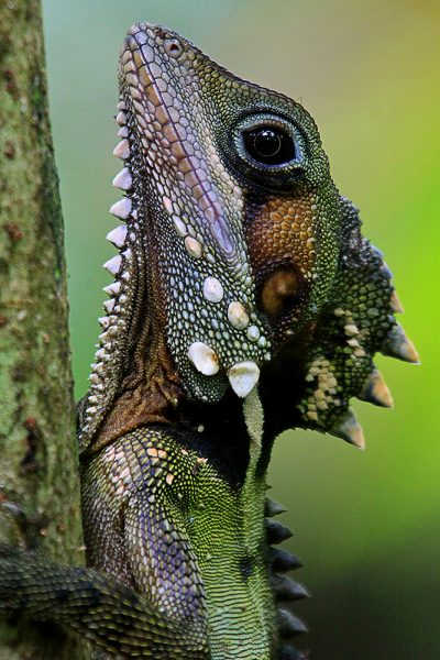 Boyd's Forest Dragon - Cape Tribulation, QLD