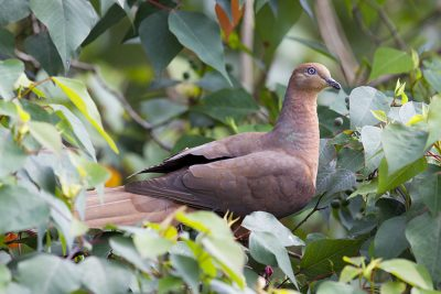 Brown Cuckoo-dove (Macropygia amboinensis robinsoni) - Lammington National Park, QLD