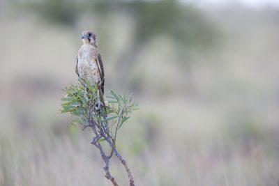 Brown Falcon (Falco berigora berigora) - Barkley Tablelands, NT