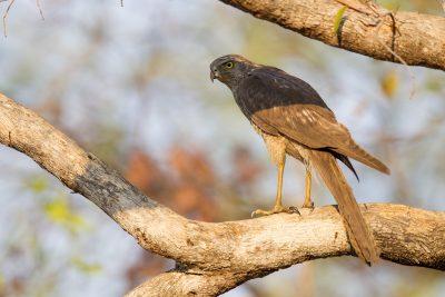 Brown Goshawk (Juv Accipiter fasciatus didimus) - Edith Falls, NT