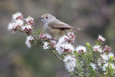 Brown Thornbill (Acanthiza pusilla diemenensis) - Tasmania