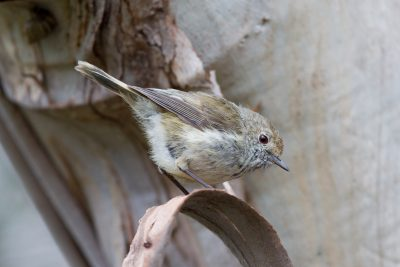 Brown Thornbill (Acanthiza pusilla diemenensis) - Tasmania (2)