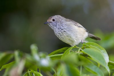 Brown Thronbill (Acanthiza pusilla pusilla) - Lammington National Park, QLD