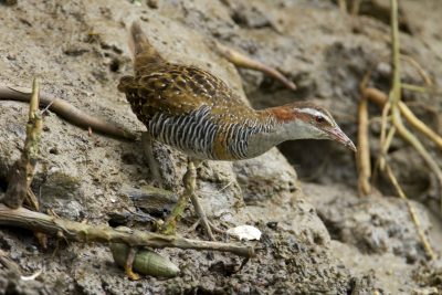 Buff Banded Rail (Gallirallus philippensis mellori) - Buffalo Creek, NT (2)