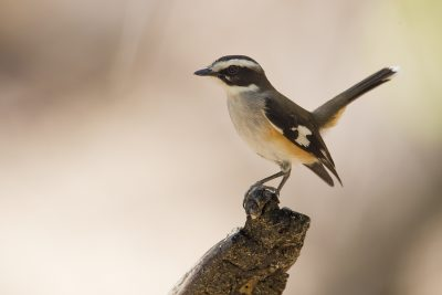 Buff-sided Robin (Poecilodryas cerviniventris) - Marrakai Track, NT (2)