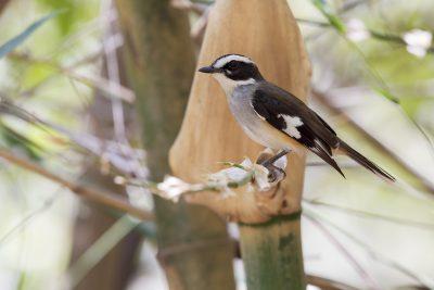 Buff-sided Robin (Poecilodryas cerviniventris) - Marrakai Track, NT (3)