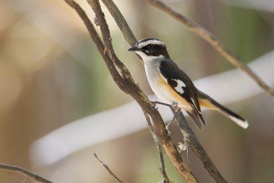 Buff-sided Robin (Poecilodryas cerviniventris) - Marrakai Track, NT (4)