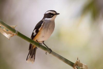 Buff-sided Robin (Poecilodryas cerviniventris) - Marrakai Track, NT (5)