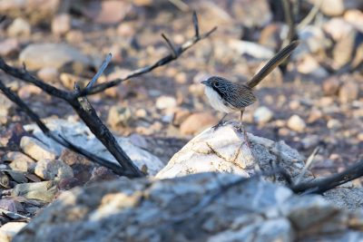 Carpentarian Grasswren (Amytornis dorotheae) - Lady Loretta Project Road, QLD (2)