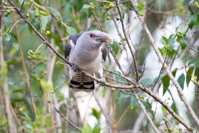 Channel Billed Cuckoo (Scythrops novaehollandiae novaehollandiae) - Bunya Mountains National Park, QLD