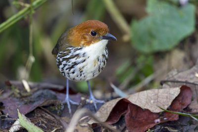 Chestnut-crowned Antpitta - Paz De Aves (Ant Hill Pass), Ecuador