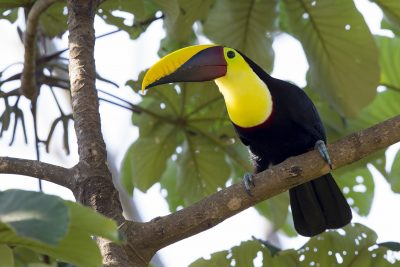 Chestnut-mandibled Toucan - Costa Rica