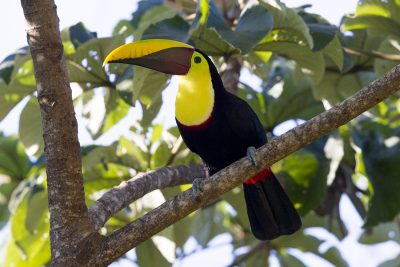 Chestnut-mandibled Toucan - Costa Rica.