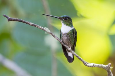 Collared Inca (Female) - Bellavista, Upper Tandayapa Valley, Ecuador