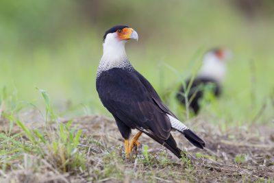 Crested Caracara - Costa Rica