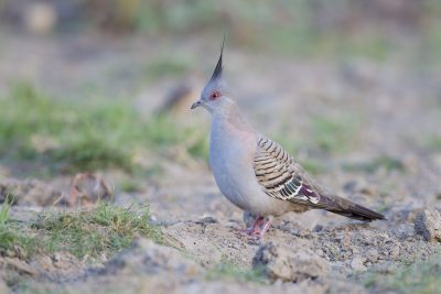 Crested Pigeon (Ocyphaps lophotes lophotes) - Top Springs, NT (2)