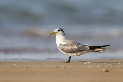 Crested Tern (Thalasseus bergii cristata) - Buffalo Creek, NT (2)