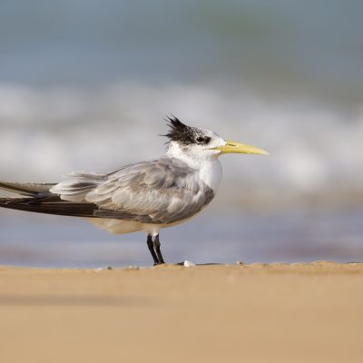 Gulls, Terns, Tropicbirds & Noddies