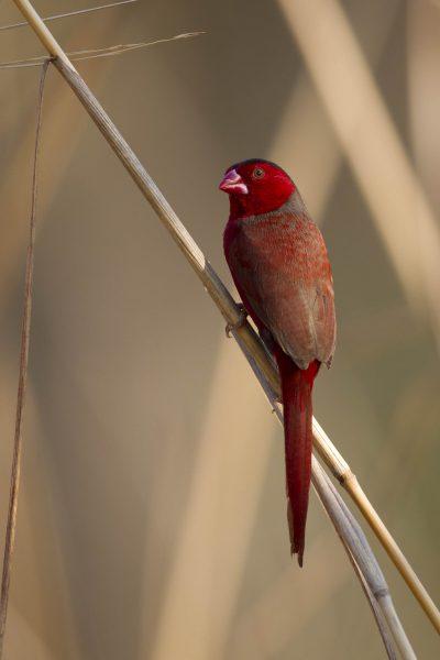 Crimson Finch (Neochmia phaeton phaeton) - Darwin NT (3)