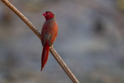 Crimson Finch (Neochmia phaeton phaeton) - Darwin NT (4)