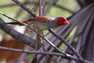 Crimson Finch (Neochmia phaeton phaeton) - Darwin NT
