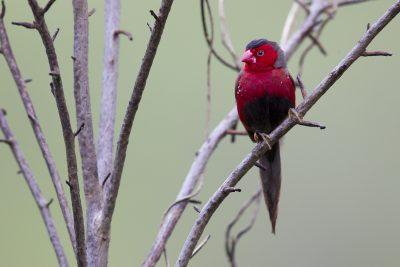 Crimson Finch (Neochmia phaeton phaeton) - Darwin NT (5)