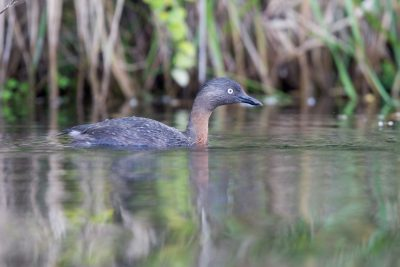 Dabchick - Taupo, New Zealand