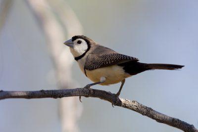Double-barred Finch (Taeniopygia bichenovii annulosa) - Adelaide River, NT