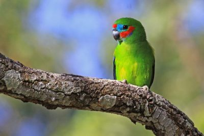 Double Eyed Fig Parrot (Cyclopsitta diophthalma macleayana) - Cairn, QLD