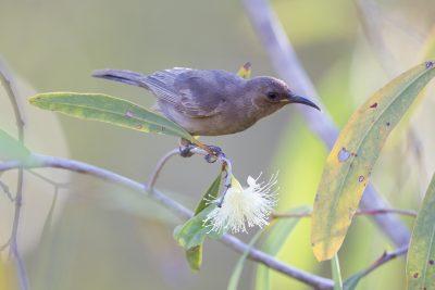 Dusky Honeyeater (Myzomela obscura obscura) - Darwin, NT (2)