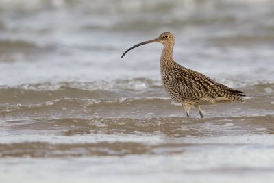 Eastern Curlew (Numenius madagascariensis) - Sandy Creek, NT (2)