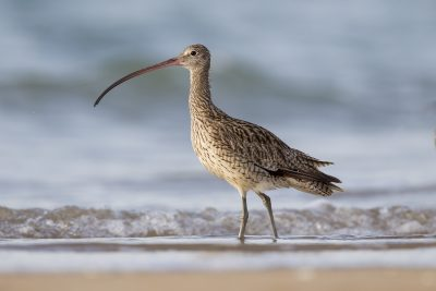 Eastern Curlew (Numenius madagascariensis) - Sandy Creek, NT