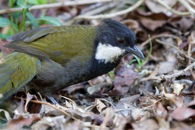 Eastern Whipbird (Psophodes olivaceus olivaceus) - Lammington National Park, QLD