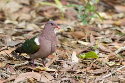Emerald Dove (Chalcophaps indica longirostris) - Casuarina Coastal Reserve, NT (3)