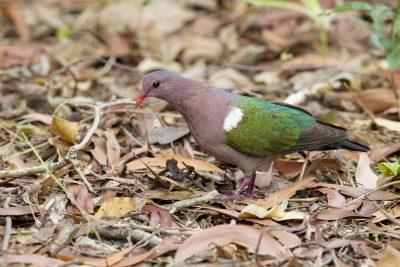 Emerald Dove (Chalcophaps indica longirostris) - Casuarina Coastal Reserve, NT