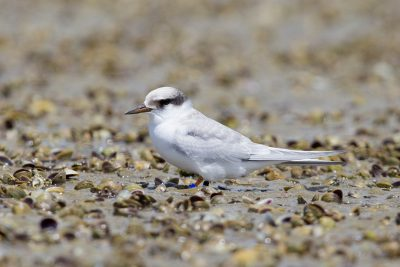 Fairy Tern (Juv)  - Northland, New Zealand