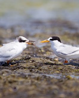 PHOTOGRAPHING NEW ZEALAND'S RAREST BIRD – NZ FAIRY TERN