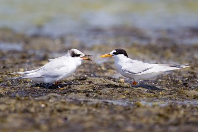 Fairy Tern with Chick  - Waipu, NZ