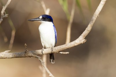 Forest Kingfisher (Todiramphus macleayii macleayii) - Darwin, NT