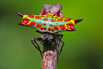 Four Spinned Jewel spider (6)