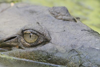 Freshwater Crocodile - Darwin, NT