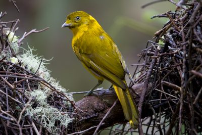 Golden Bowerbird (Amblyornis newtonianus) - Mount Hypipamee NP, QLD (2)