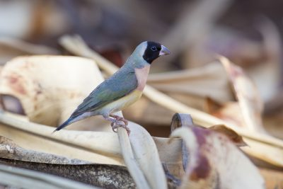 Gouldian Finch - Female Blackfaced (Erythrura gouldiae) - Edith Falls, NT (2)