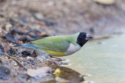 Gouldian - Female Blackfaced (Erythrura gouldiae) - Edith Falls, NT (3)