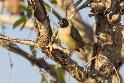 Gouldian - Female Blackfaced (Erythrura gouldiae) - Edith Falls, NT (4)