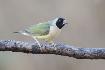 Gouldian - Female Blackfaced (Erythrura gouldiae) - Edith Falls, NT