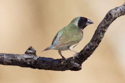 Gouldian - Female Blackfaced (Erythrura gouldiae) - Edith Falls, NT (6)