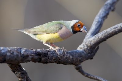 Gouldian - Female Red-faced (Erythrura gouldiae) - Edith Falls, NT